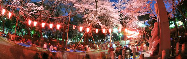 Cherry Blossom Peninsula Tokyo
